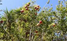 Granatäpplen på kvist
