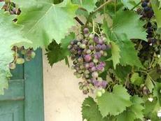 Vindruvorna mognar i solen