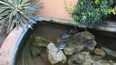 Sköldpaddor i damm