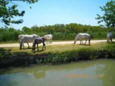 Halvt vilda Hästar