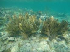 Sea rod coral