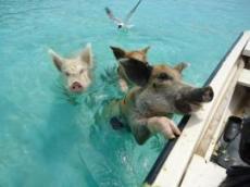 Simmande grisar
