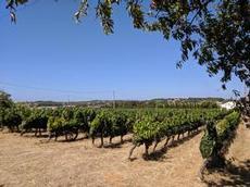 Rader med vin på vingården Monte da Cateleja