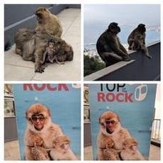 Aporna på Gibralterklippan
