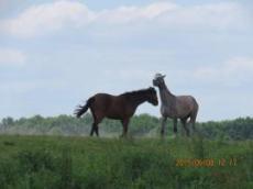 Hästar längst floden