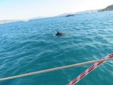 Delfiner runt Ofelia vid porto Palma