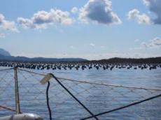 Har odlas musslor i mängder vid inloppet av Olbias hamn